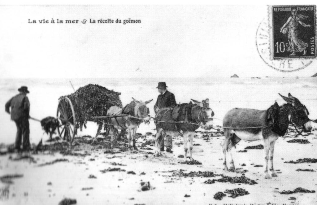 French postcard showing seaweed collecting